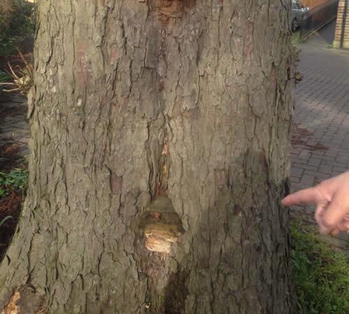 Diseased Tree, Hemel Hempstead, Hertfordshire