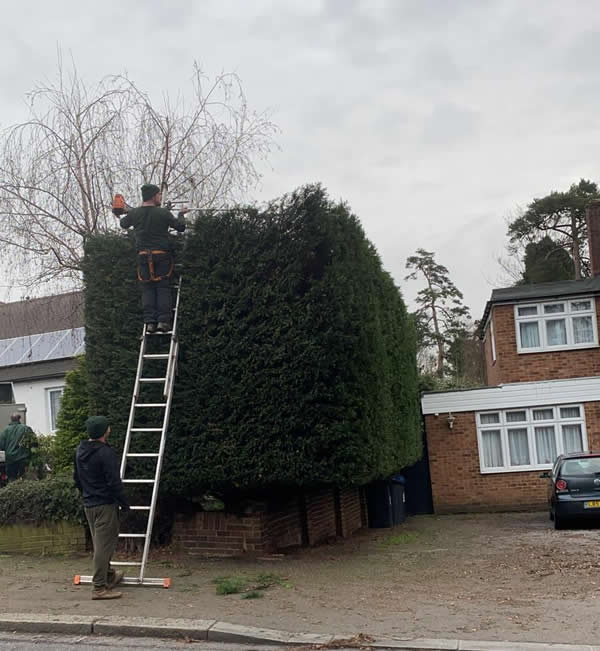 Hedge Trimming in Winchmore Hill, North London
