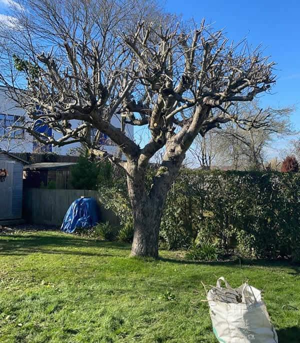 Pruned Apple Tree in North London
