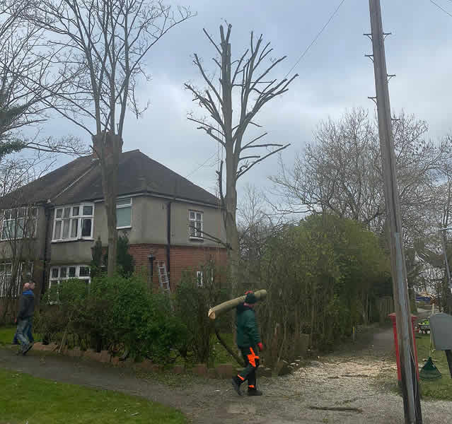 Sycamore Tree Crown In Potters Bar