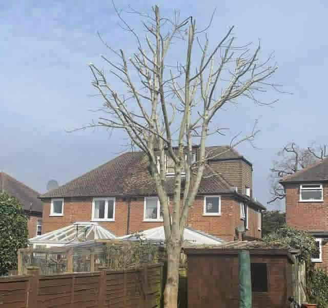 Trimmed Ash Tree by Tree Surgeon in Hertfordshire, A1 Town and Country
